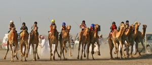 12 Camels and 12 Omani Camel Riders