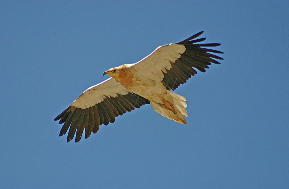 egyptian vulture drawing - photo #8